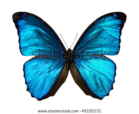 Morpho menelaus - butterfly isolated on white. - stock photo