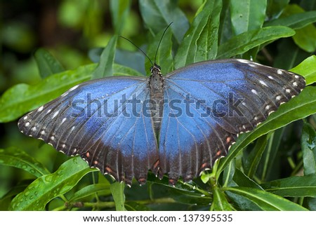 Morpho, Morphus,  Butterfly of Cenatral America, Costa Rica - stock photo