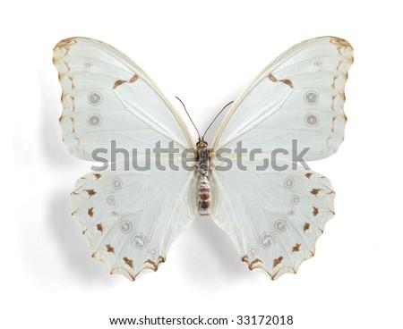 Morpho polyphemus, White Morpho (female) - stock photo