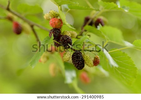 Morus, a genus of flowering plants in the family Moraceae, comprises 10â??16 species of deciduous trees commonly known as mulberries growing wild and under cultivation in many temperate world regions.