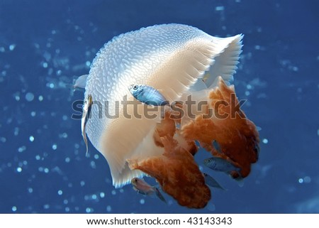 Mosaic Jellyfish with jacks surrounding, swimming in the Coral Sea. - stock photo