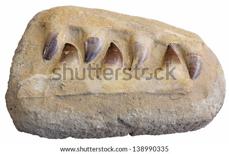 Mosasaurus anceps tooth from an extinct marine reptile - stock photo