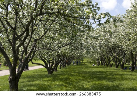 MOSCOW - MAY 22 2011: people walking in apple gardens in blossom in park of museum - kings estate Kolomenskoye, popular place of sight seeing of the city, exist from 14 century. - stock photo