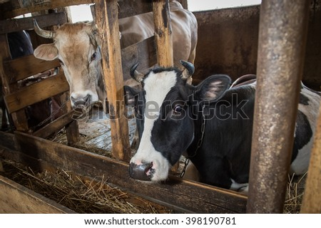 MOSCOW, RUSSIA - MARCH 30, 2016: Cows in a wooden barn on a farm near Moscow