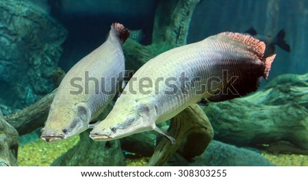 Moscow, Russian Federation - October 26, 2012: Moscow ocenarium - large Arapaima under the water - stock photo