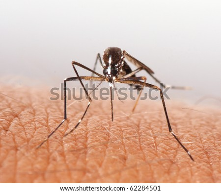 Mosquito. - stock photo