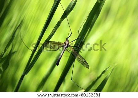 Mosquito - stock photo