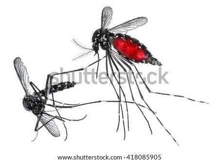 Mosquito (Aedes albopictus), also known as (Asian) tiger mosquito or forest mosquito, female with blood on a white background - stock photo