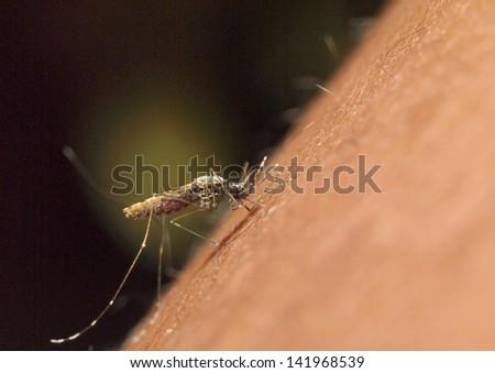 Mosquito biting a human: macro image - stock photo