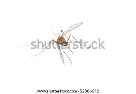 Mosquito bug isolated in white background - stock photo