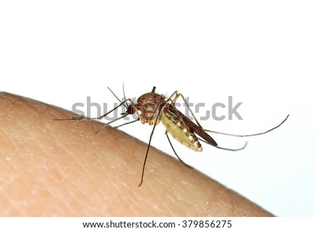 mosquito (Culex) biting as human finger
