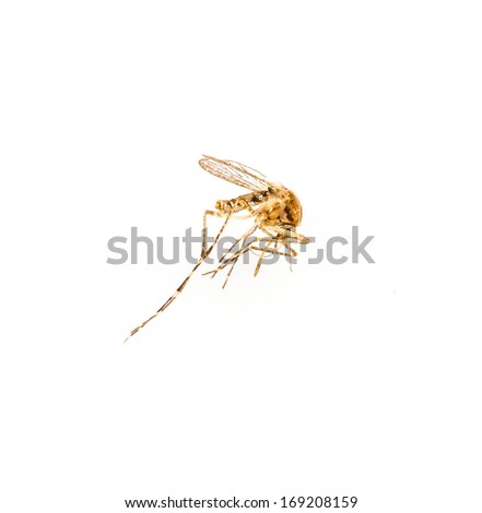 Mosquito dead on isolated white background - stock photo