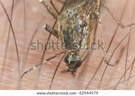 Mosquito digging deep, extreme close-up, focus on eyes