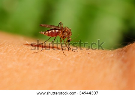 mosquito drinks human blood on green background