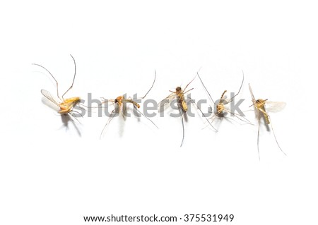 Mosquito evil dead Will spread the disease to us./on white background               - stock photo