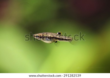 Mosquito fish (Heterandria formosa), also known as the least killifish. Wildlife animal.  - stock photo