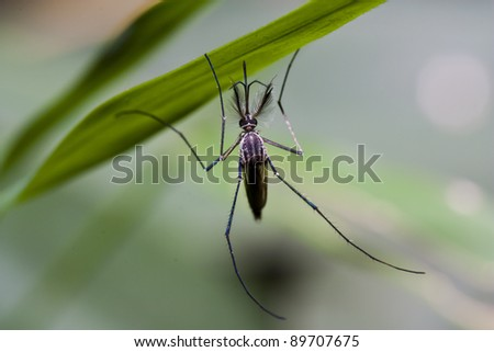 Mosquito hang on leaf in macro - stock photo