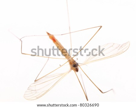 mosquito isolated on the white background - stock photo