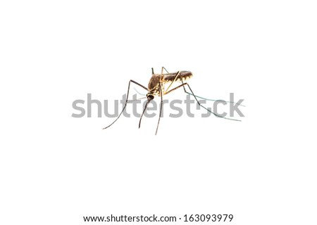 mosquito isolated on white - stock photo