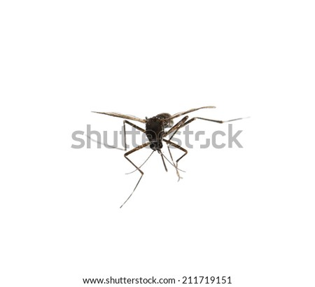 Mosquito isolated on white. - stock photo