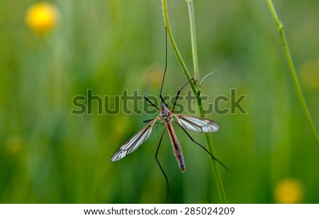 mosquito nematocera on grass, on green background  - stock photo