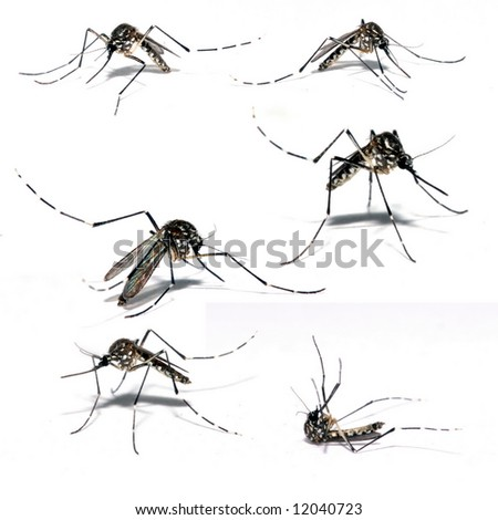 Mosquito of Dengue - Aedes Aegipty . - stock photo