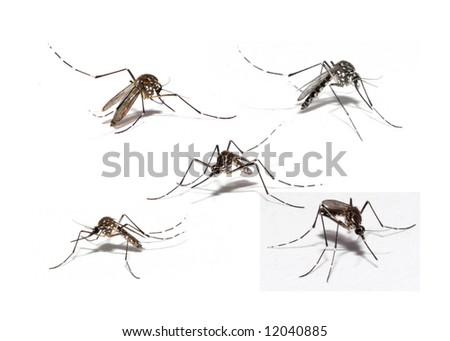 Mosquito of Dengue - Aedes Aegipty . - stock photo