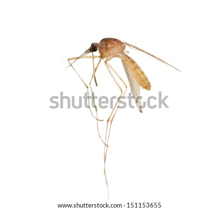 mosquito on a white background. macro - stock photo