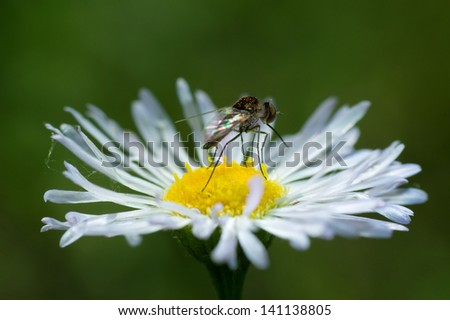 Mosquito on a white flower. - stock photo