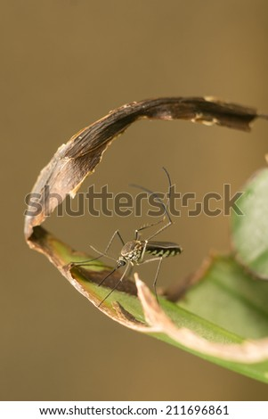 Mosquito on green leaf - stock photo