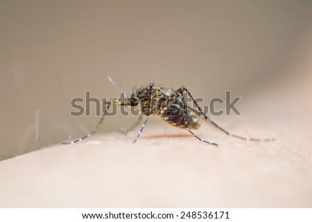 Mosquito on human skin - stock photo