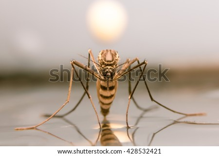 Mosquito on sunset background,macro of a Mosquito on water - stock photo