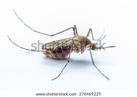 Mosquito on white background - stock photo