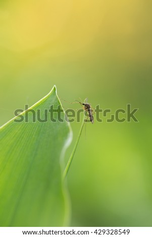 Mosquito resting on lily of the valley leaf