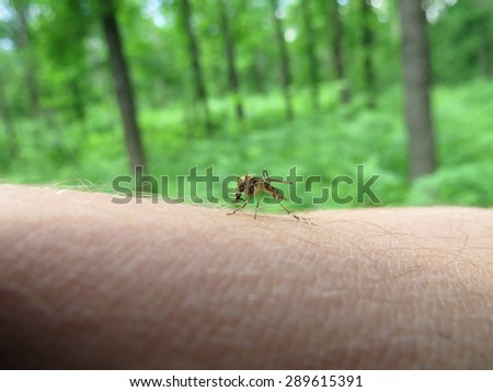 Mosquito sat on the arm and trying to suck blood. - stock photo