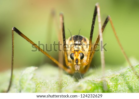 Mosquito Scorpion the lacewing head close-up - stock photo