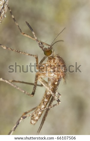 Mosquito sitting on tree, extreme close-up with high magnification