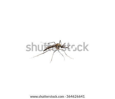 Mosquito species aedes aegyti side, isolated - stock photo