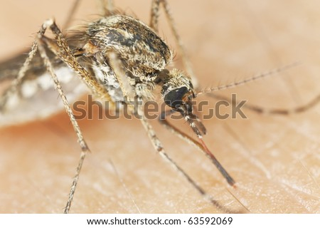 Mosquito sucking blood. Extreme close-up with high magnification. - stock photo