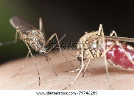 Mosquito sucking blood, extreme close-up with high magnification, focus on eyes, smaller mosquito in the background is starting to feed - stock photo