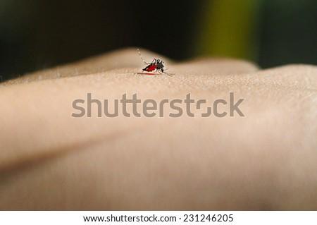 Mosquito sucking blood from hand. Mosquito bite can transmit diseases such as malaria, dengue, chikungunya etc. - stock photo