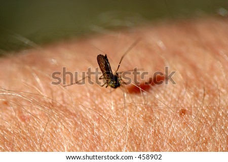 mosquito sucking blood from human arm - stock photo
