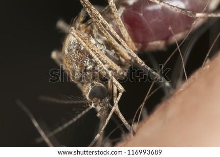 Mosquito sucking blood, macro photo - stock photo