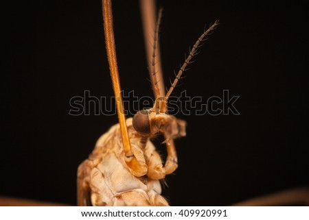 Mosquito with long legs Crane fly macro closeup with black background - stock photo
