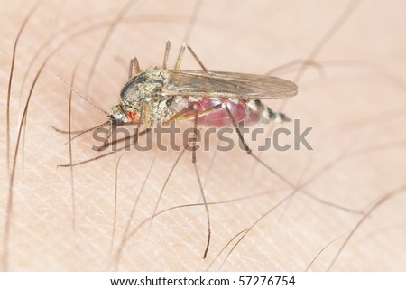 Mosquito with parasite sucking blood. Extreme close-up with high magnification. - stock photo