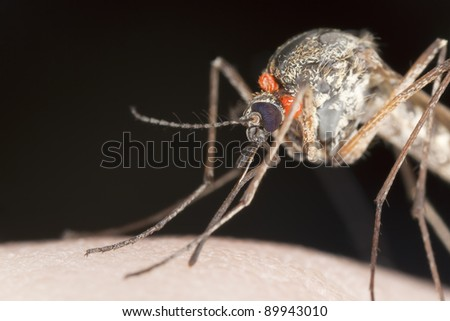 Mosquito with parasites sucking blood, extreme close-up - stock photo
