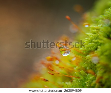 Moss and dew drops in the early spring morning - stock photo