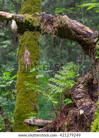 Moss and fern closeup in summer grows over partly decomposed root of tree, Bialowieza Forest, Poland, Europe - stock photo
