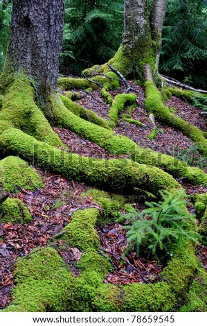 Moss and Tree Roots, Blackwater Falls State Park, West Virginia, USA - stock photo