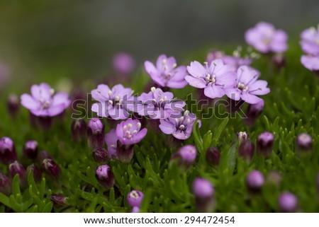 stock-photo-moss-campion-cushion-pink-si